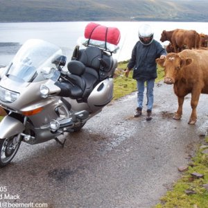 Road cattle